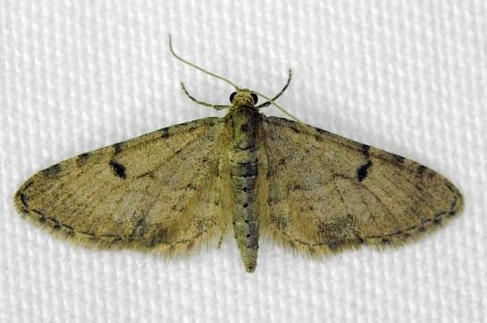 E.indigata.