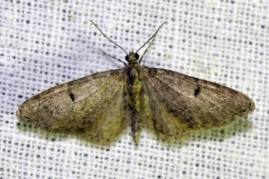 E.indigata