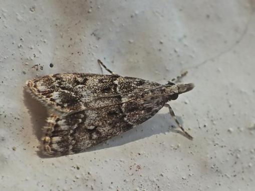 E.mercurella
