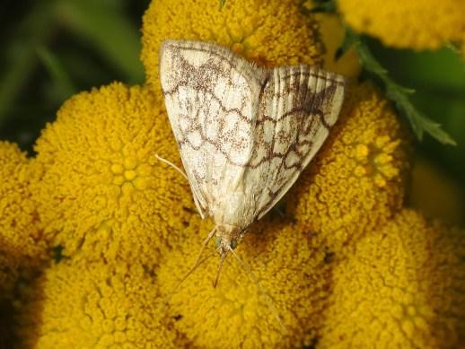 Ev.pallidata