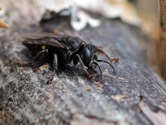 Ox.trispinosus
