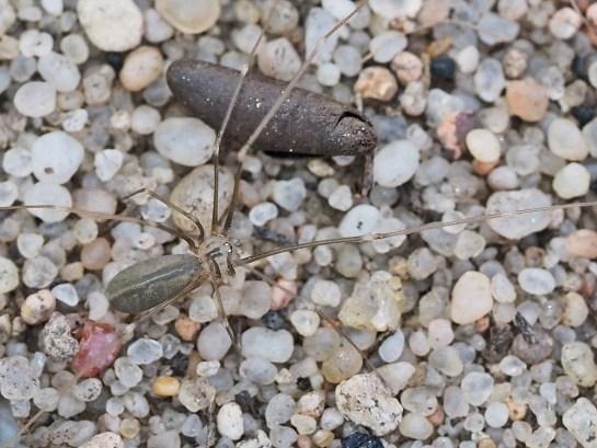 P.opilionoides