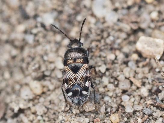 P.varius