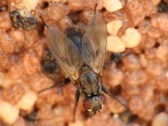 Ph.melanocephala