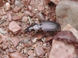 Pt.impressicollis