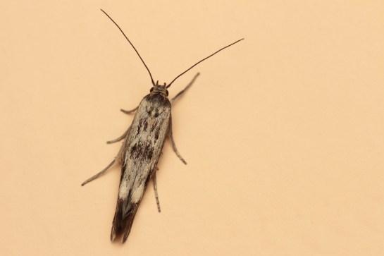S.limbella
