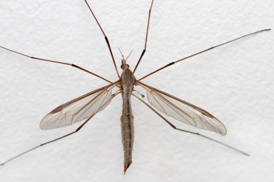 Tip.oleracea
