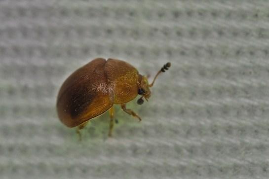 C.luteus