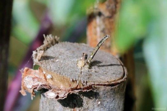 M.parvulus nest