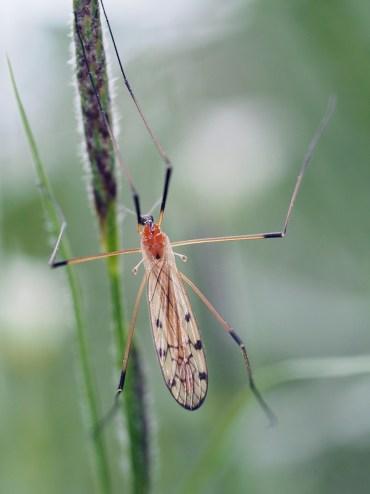 L.nigropunctata