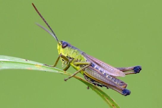 P.paralellus male