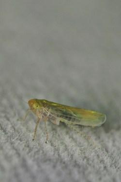 Ps.cephalotes