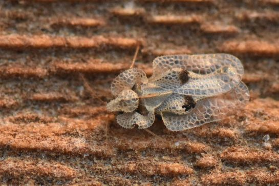 C.ciliata
