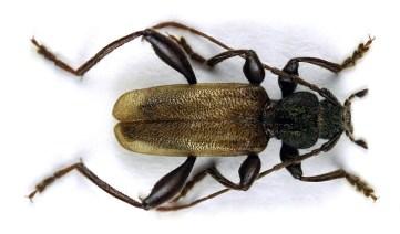 C.coriaceum.