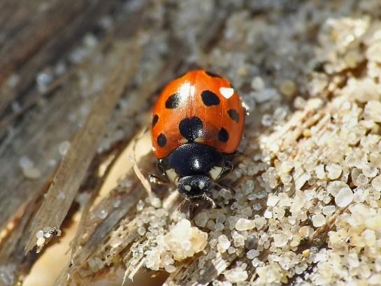 C.undecimpunctata
