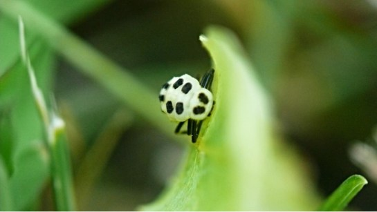 Calvia larva