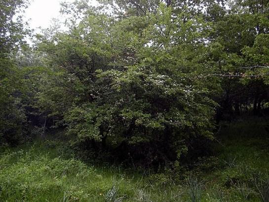Clytus claviornis habitat