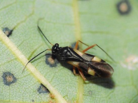Gl. flavomaculatus