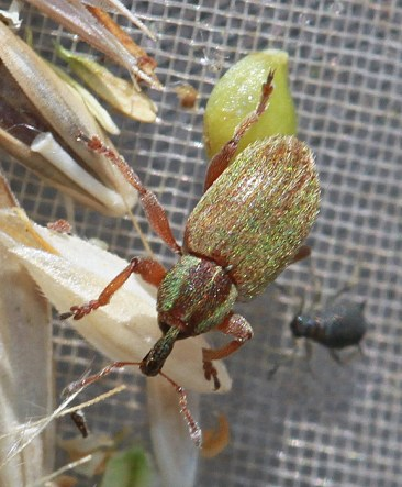 H.nigrirostris