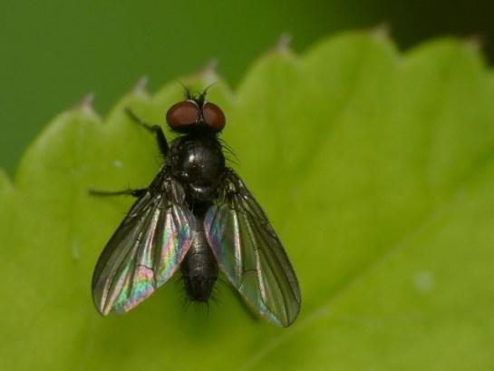 Melanomyia