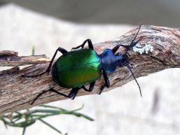 R.sycophanta