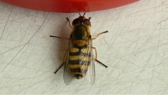 S.ribesii female