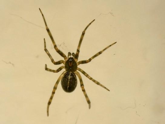 S.castanea