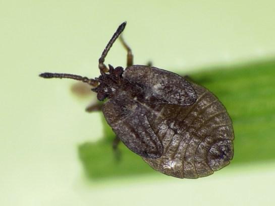 A.nigirna nymph