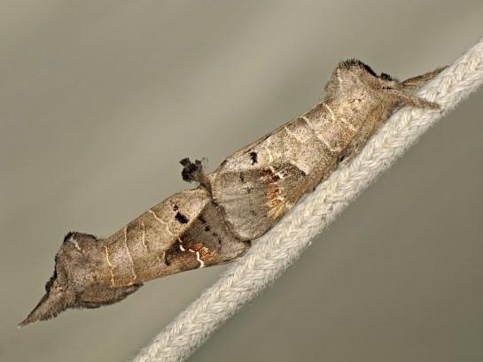 C.anachoreta.