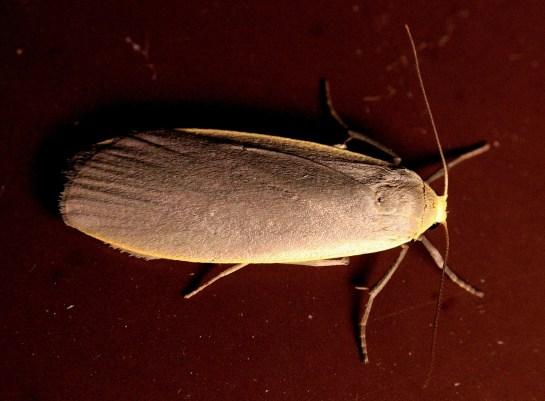 C.griseola