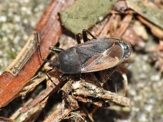 E.plebejus
