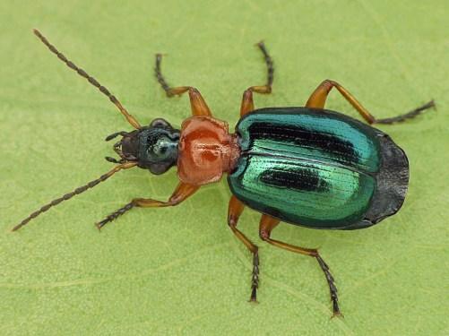 L.chlorocephala