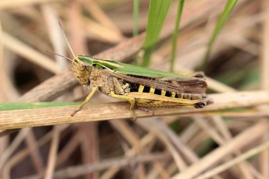 O.viridulus