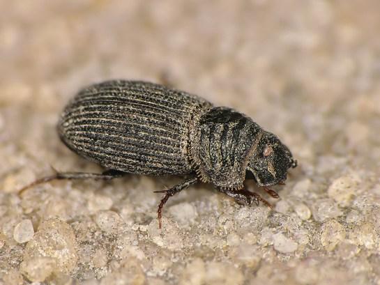 Rhyss.germanus