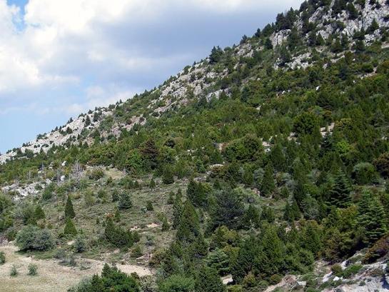 S. quercus habitat