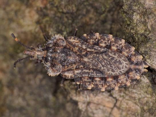 A.obtectus