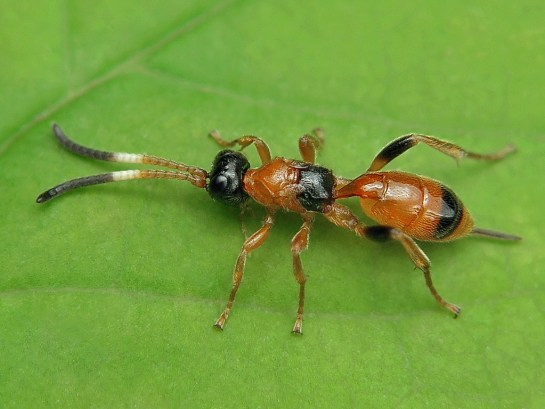 Apt.nigrocincta