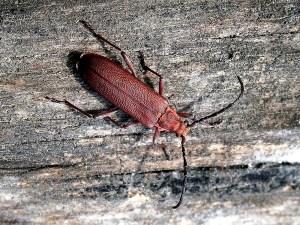 E.sanguineus