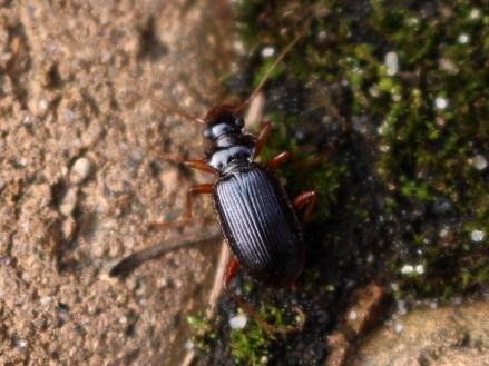 L.rufomarginatus