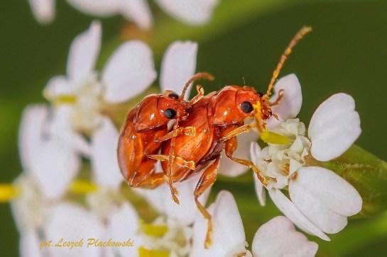 Neocrepidodera