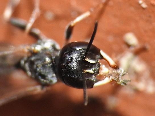 P.insignis