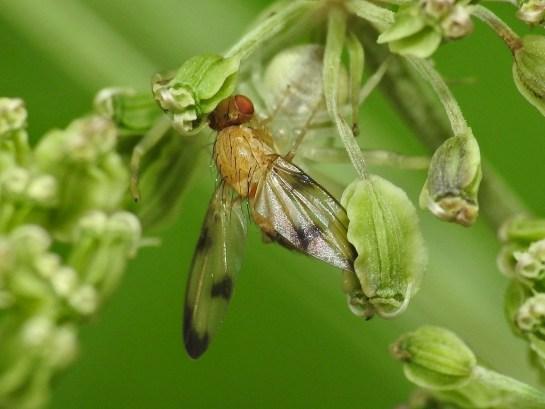 P.trimaculata
