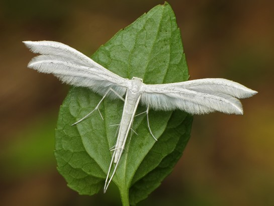 Pt.pentadactyla
