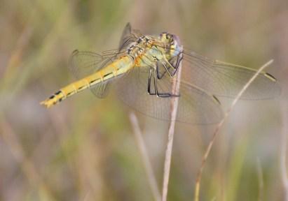 S.fonscolombii