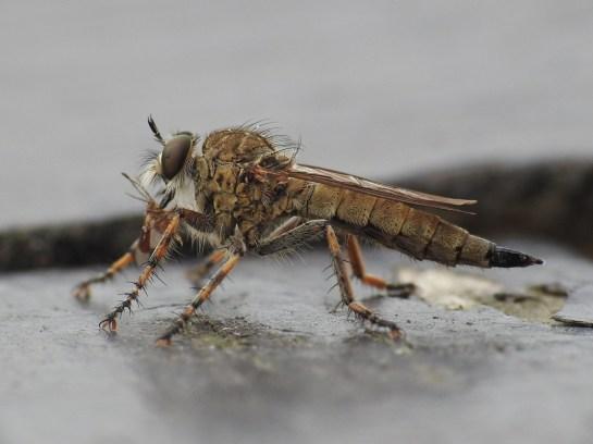 t. cingulatus (1)