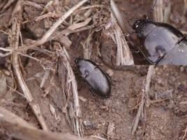 A.nigricornis