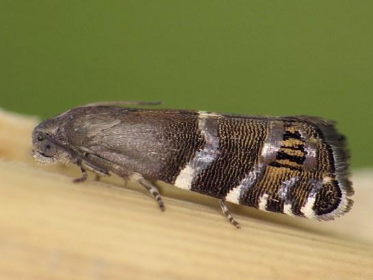 c-cosmophorana