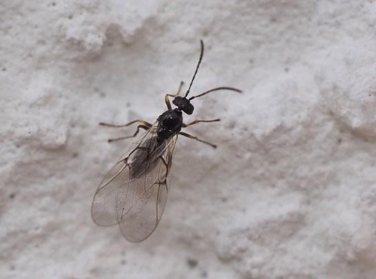 C.quercusfolii