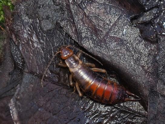 Ch.acanthopygia