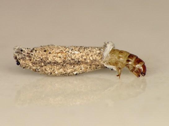 dah-triquetrella